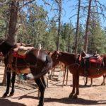 mules bryce canyon