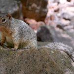 écureuil (squirrel) zion NP