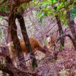 biche (deer) Zion NP