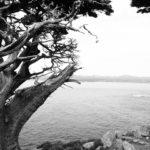 cyprès de Monterey Point Lobos