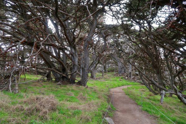 cyprès de Monterey