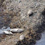 lions de mer point Lobos