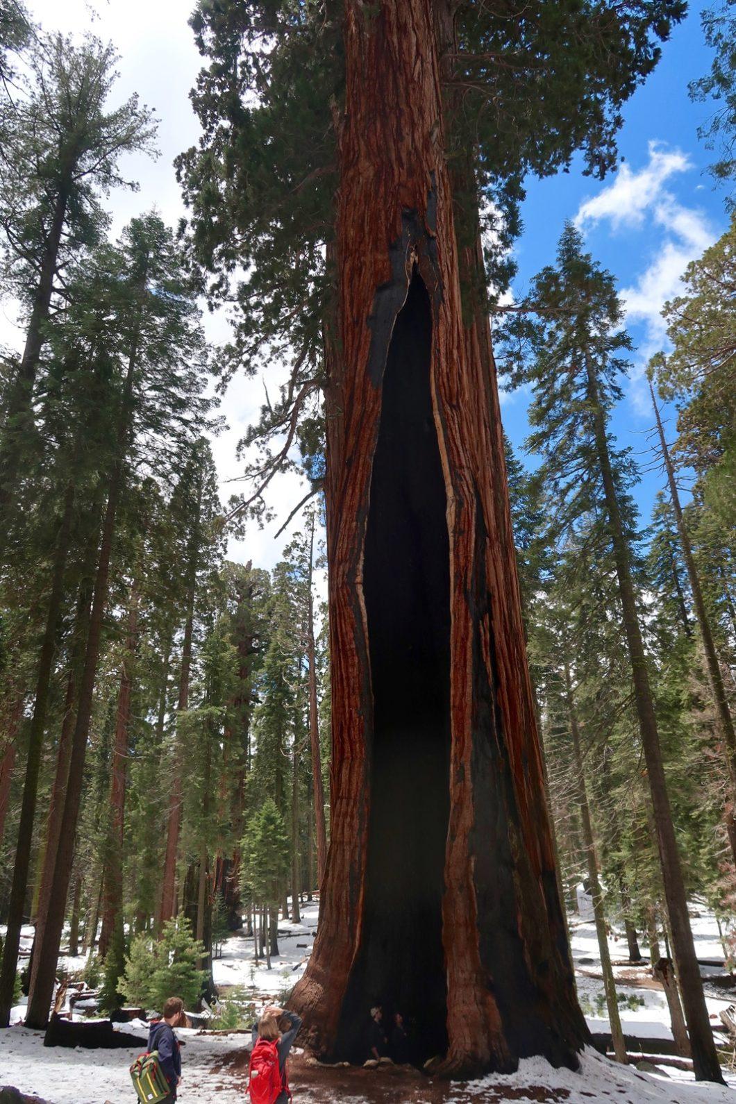 séquoia géant congress trail
