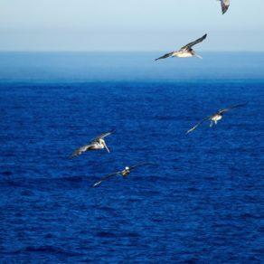 pélicans Point Lobos