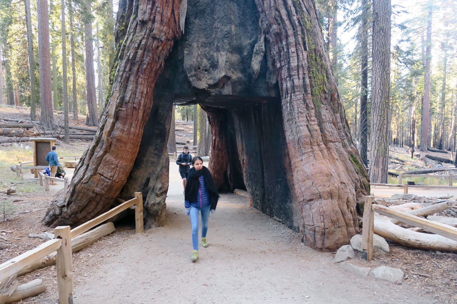 California Tunnel Tree