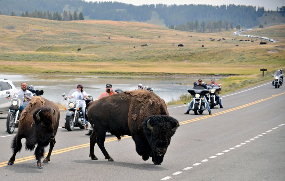 yellowstone bisons moto