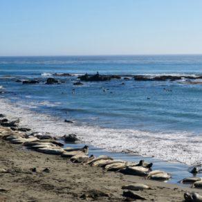 éléphants de mer